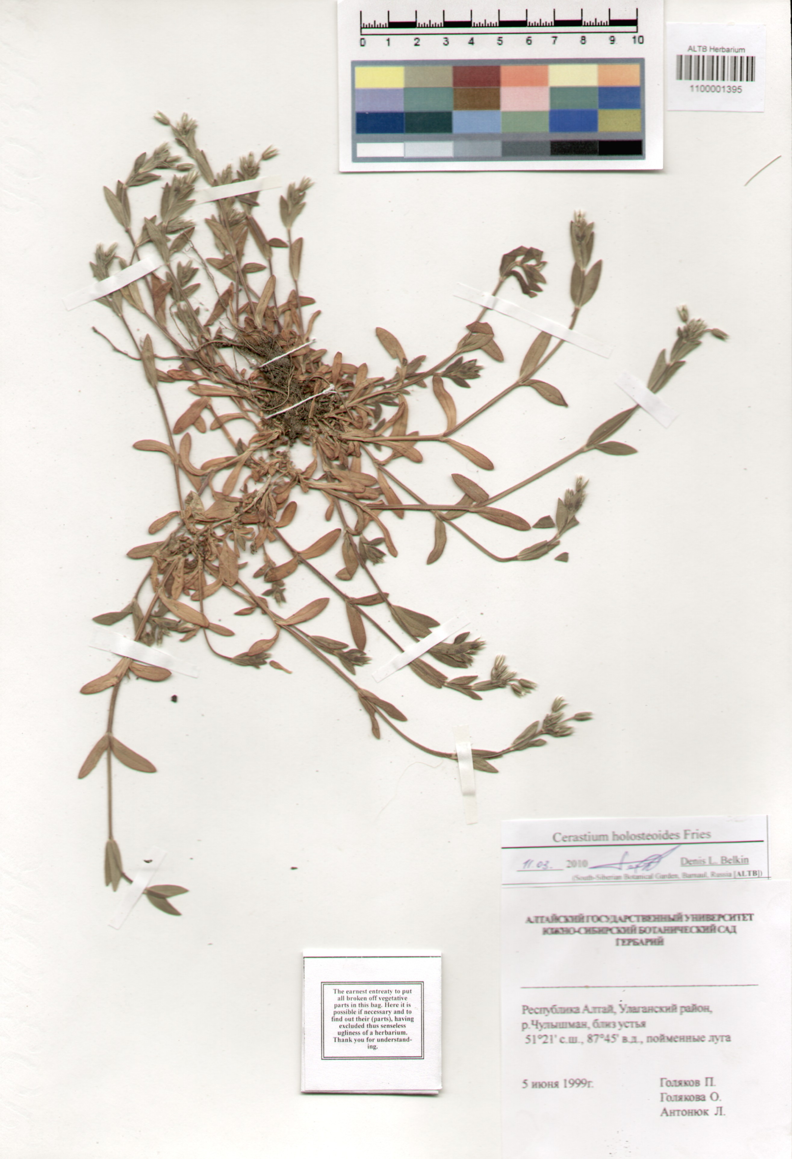 Caryophyllaceae,Cerastium holosteoides Fries.