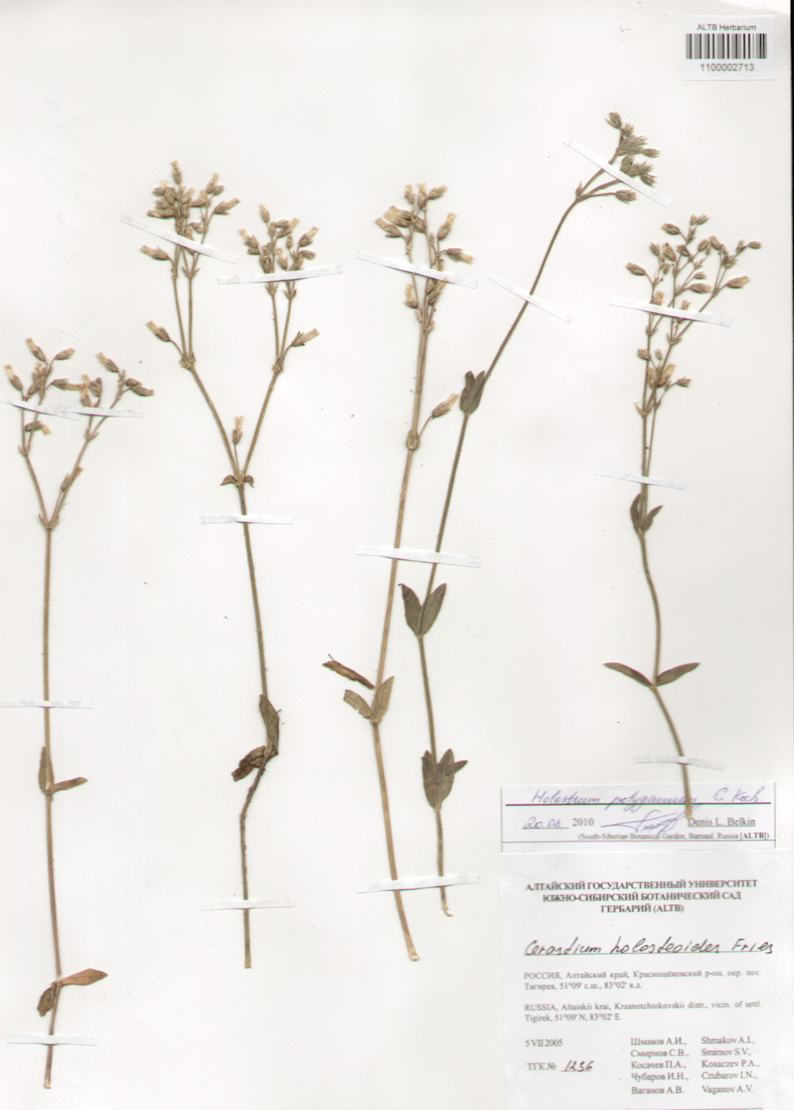 Caryophyllaceae,Holosteum polygamum C. Koch.