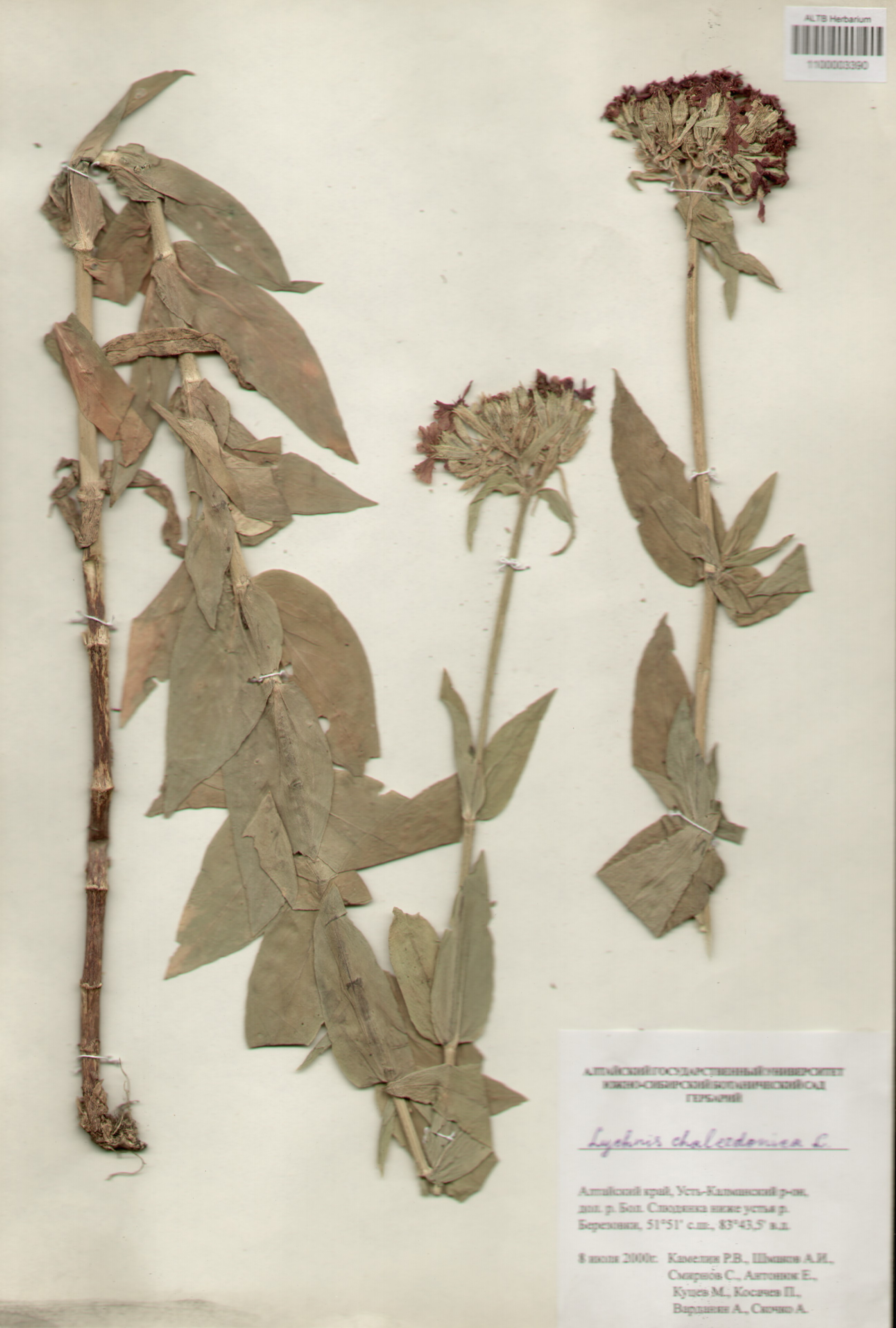 Caryophyllaceae,Lychnis chalcedonica L.